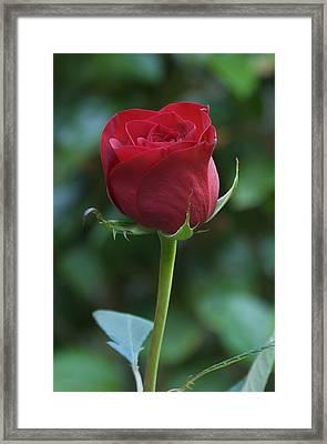 Red Rose 2 Framed Print by Susan Heller