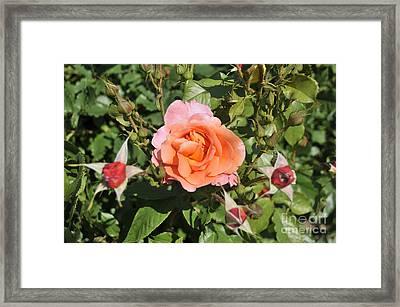 Red Rose 5 Framed Print by Rudolf Strutz