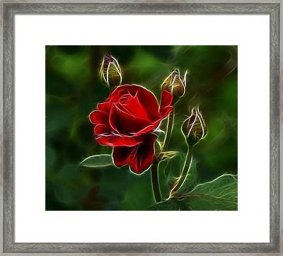 Red Rose And Buds Framed Print