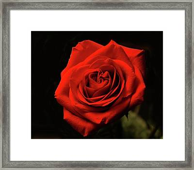 Red Rose At Night Framed Print