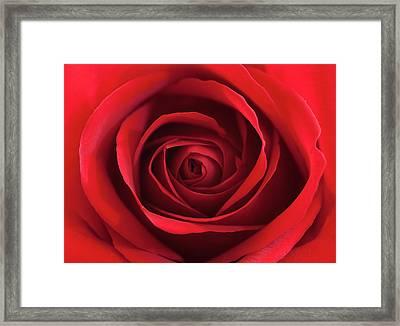 Red Rose Framed Print by George Lovelace