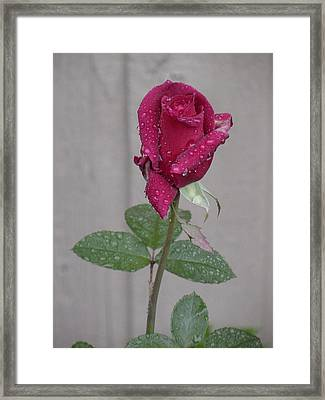 Red Rose In Rain Framed Print