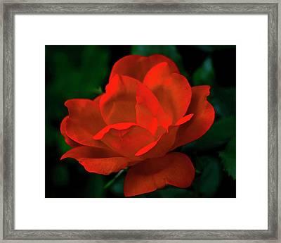 Red Rose In Sunlight Framed Print