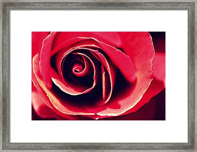 Red Rose Framed Print by Joseph Skompski