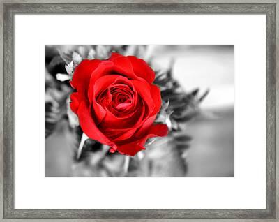 Red Rose Framed Print by Karen M Scovill