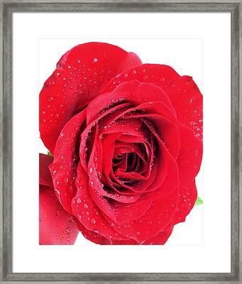 Red Rose Framed Print by Kathy M Krause