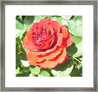 Red Rose Framed Print by Lisa Roy