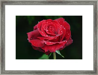 Red Rose Framed Print by Martina Fagan