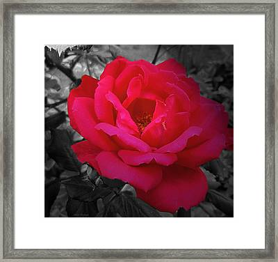 Red Rose On Black And White Framed Print by Mikki Cucuzzo
