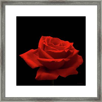 Red Rose On Black Framed Print by Wim Lanclus