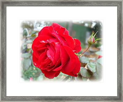 Red Rose  Red Rose Framed Print by Kathy Bucari