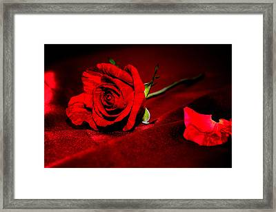 Red Rose  Framed Print by Serena King