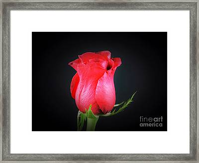 Red Rose Shows Love  Framed Print by Ray Shrewsberry