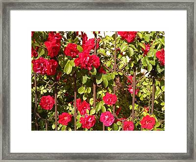 Red Roses In Summertime Framed Print