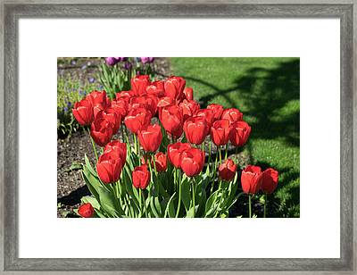 Red Royalty Framed Print