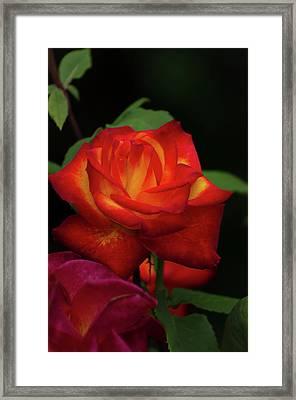 Red Roze Framed Print by Jeff Wilson