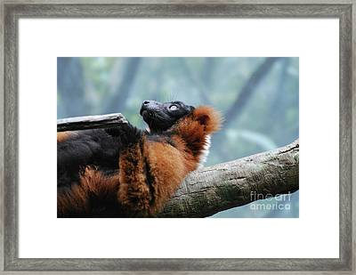 Red Ruffed Lemur Laying On His Back Framed Print by DejaVu Designs