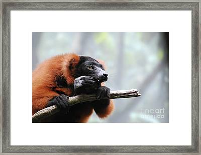 Red Ruffed Lemur With Long Fangs Clinging To A Branch Framed Print by DejaVu Designs