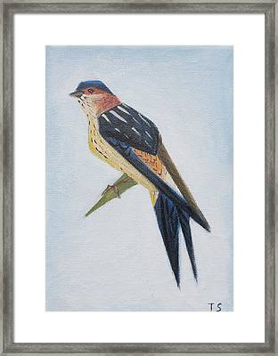 Red-rumped Swallow Framed Print