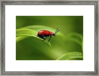 Red Scarlet Lily Beetle On Plant Framed Print by Sergey Taran