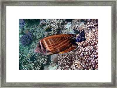 Red Sea Sailfin Tang 3 Framed Print