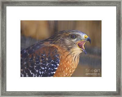 Red Shoulder Hawk Framed Print by Deborah Benoit