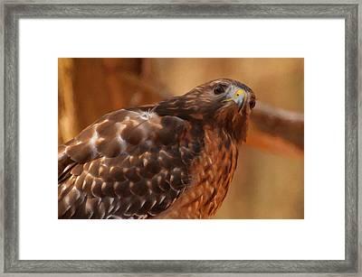 Red Shouldered Hawk 1  Framed Print