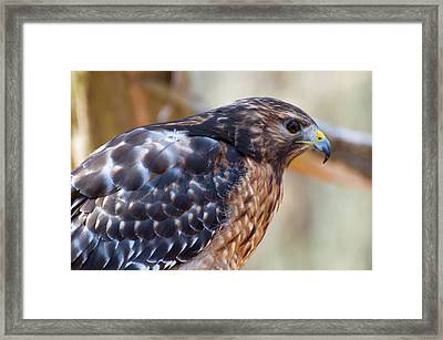 Red Shouldered Hawk 2 Framed Print by Chris Flees