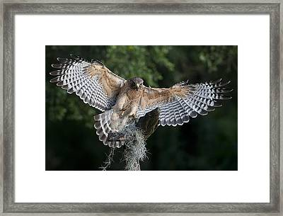 Red Shouldered Hawk 2 Framed Print by Wade Aiken