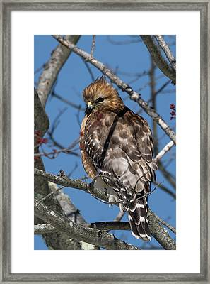 Framed Print featuring the photograph Red Shouldered Hawk 2017 by Bill Wakeley