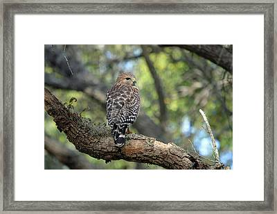 Red Shouldered Hawk Framed Print by Aimee L Maher Photography and Art Visit ALMGallerydotcom