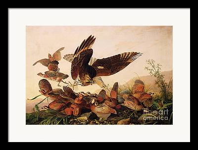Red-shouldered Hawk Framed Prints