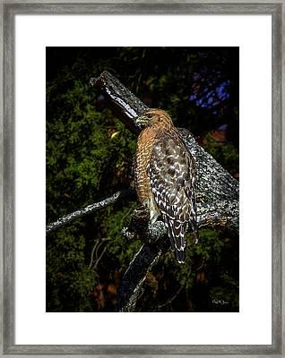 Red-shouldered Hawk Framed Print by Barry Jones