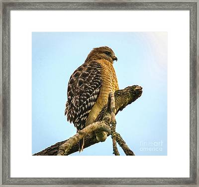 Red-shouldered Hawk - Buteo Lineatus Framed Print