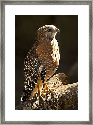 Red-shouldered Hawk Framed Print by Carolyn Marshall