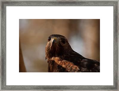 Red Shouldered Hawk Close Up Framed Print by Chris Flees