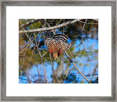 Framed Print featuring the photograph Red-shouldered Hawk  by Debbie Stahre