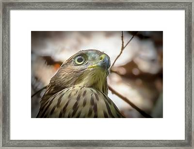 Red-shouldered Hawk Fledgling 3 Framed Print