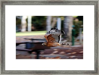 Framed Print featuring the photograph Red-shouldered Hawk Flying By by Christy Pooschke