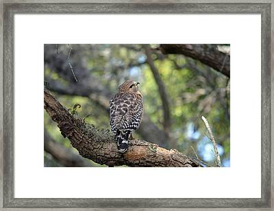 Red Shouldered Hawk In Tree Framed Print by Aimee L Maher Photography and Art Visit ALMGallerydotcom