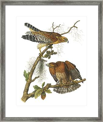 Red-shouldered Hawk Framed Print by John James Audubon