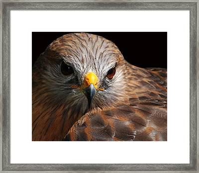 Red-shouldered Hawk Framed Print by Lorenzo Cassina