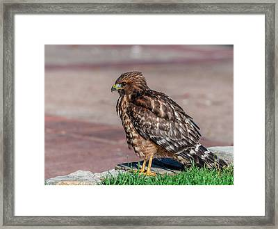 Red-shouldered Hawk Framed Print