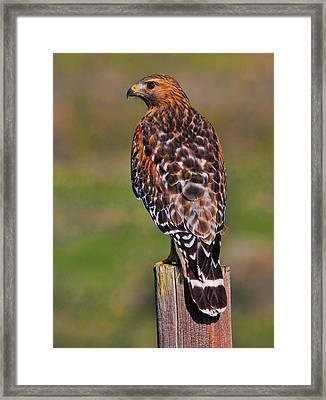 Red Shouldered Hawk Portrait Framed Print