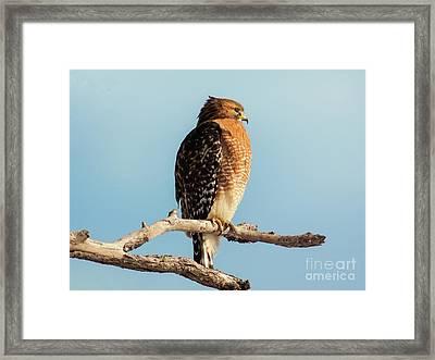 Red-shouldered Hawk Portrait Framed Print by Robert Frederick