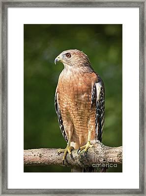 Red Shouldered Hawk Profile Framed Print