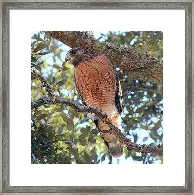 Red Shouldered Hawk Framed Print by Rosanne Jordan