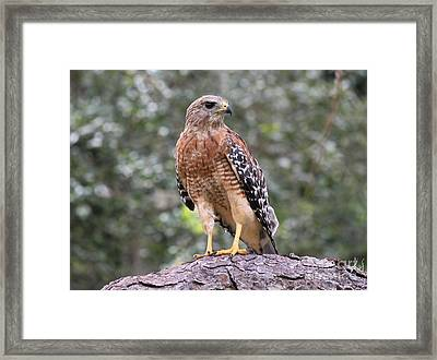 Red Shouldered Hawk Framed Print