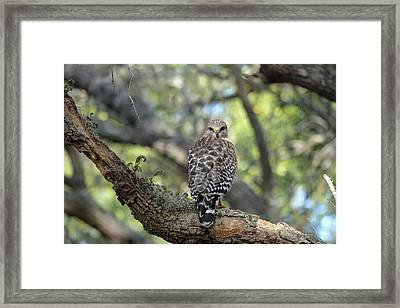 Red Shouldered Hawk Turning Head 180 Framed Print by Aimee L Maher Photography and Art Visit ALMGallerydotcom