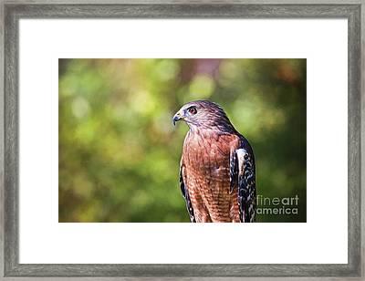 Red Shouldered Hawk Up Close Framed Print